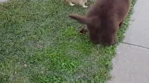 Adorable Newfoundland puppy tries to play with the sassy pomeranian