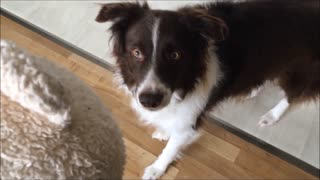 Excited puppy can't control tongue when given new toy