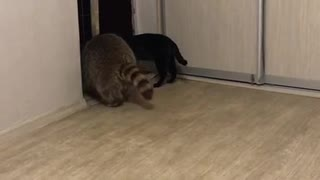 Raccoon Sits on Cat - Video
