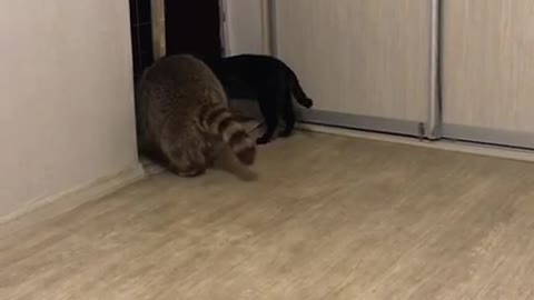 Raccoon Sits on Cat