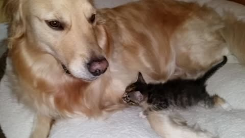 Newborn kitten cuddles with gentle foster dog