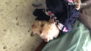 Small dog carries clothes on his back  - Video