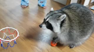 Pet raccoon slam dunks basketball - Video
