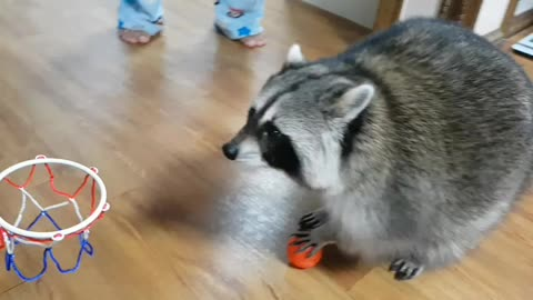 Pet raccoon slam dunks basketball