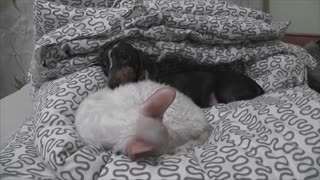 Dachshund puppy wants cat to wake up