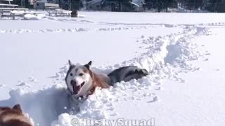Three black huskies jumping through tall snow - Video