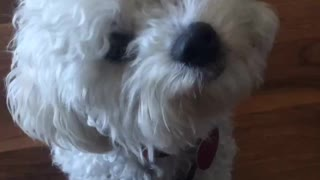 Tiny Bichon head tilts   - Video