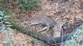 Footage of Mountain Lion attacking Four Point Buck on a Popular Hiking Trail in California. Nov 1, 2015. - Video
