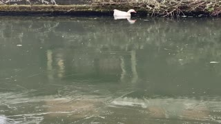 Goose Rescued from Frozen Canal