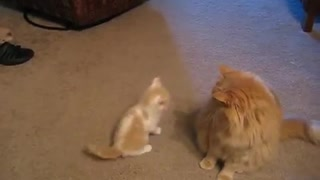 Kitten trying to play with Big Cat  - Video