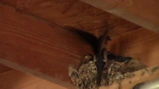 Barn swallows  - Video