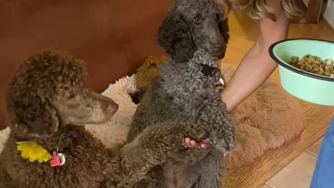 Sweet doggies pray together with owner before dinner