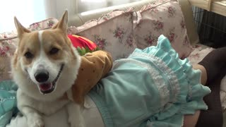 Happy hot dog corgi will make you smile - Video