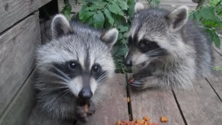 Five baby raccoons enjoy an afternoon snack - Video