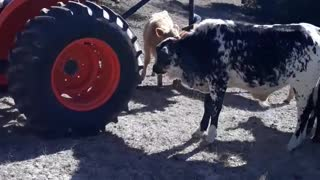 Curious bull checks out tractor and uses digger to scratch his head