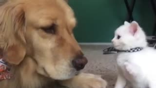 Kitten Desperately Wants To Play With Her Big Dog Brother ! - Video