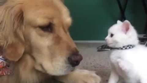 Kitten Desperately Wants To Play With Her Big Dog Brother !