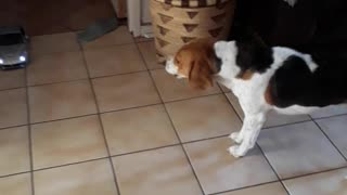 Confused Beagle can't understand the mooving object  - Video