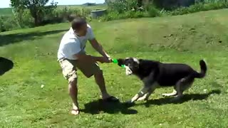 Giant German Shepherd demonstrates insane strength! - Video