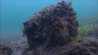 Nearly Invisible Octopus