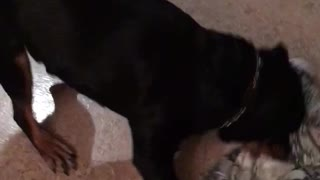 Sending the Rottweiler to bed  - Video