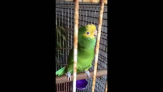 Lorenzo the parrot singing Cucurrucucu and laughing