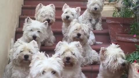 10 West Highland White Terriers flawlessly pose for camera