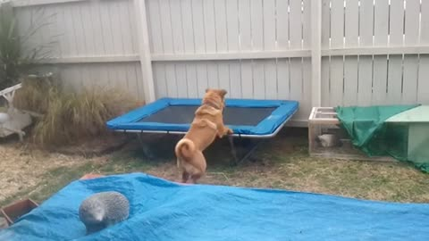 Sharpei dog plays with best friend, a giant rabbit!