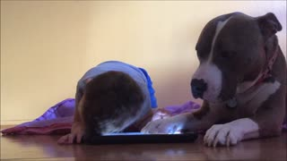 This Attention-Seeking Adorable Dog Is Jealous Of The iPad - Video