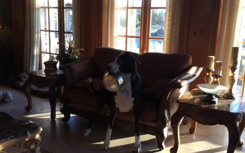 Hungry Great Dane carries food bowl in her mouth