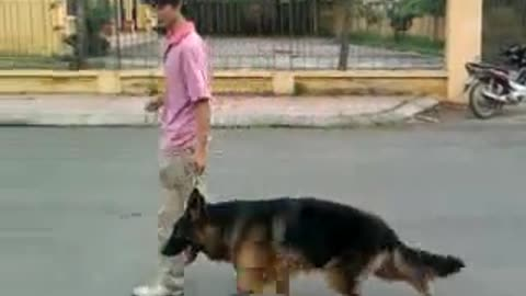 Train the most aggressive and hardest dog