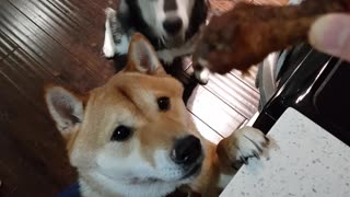 Husky shoves Shiba Inu out of way for treat