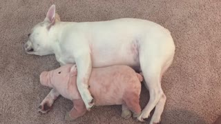French Bulldog preciously cuddles with favorite stuffed animal - Video