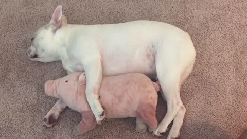 French Bulldog preciously cuddles with favorite stuffed animal