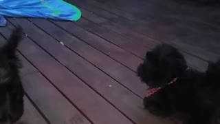 A Scottish Terrier no le agrada un juguete parecido - Video
