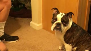 Stubborn English Bulldog refuses kiss from owner