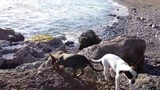 chihuahua dog puppies playing on beach