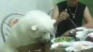 Samoyed Dog dinner on the table as people - Video