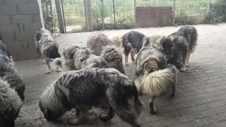 How Too many Dogs Eat - Video