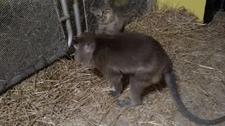 Cat vs Monkey wrestling match  - Video
