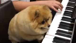 Pomeranian dog is a piano prodigy - Video