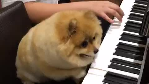 Pomeranian dog is a piano prodigy