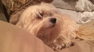 Angry dog refuses to give up her spot on the bed - Video