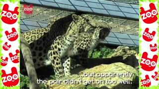 3-Legged Leopard Finds Love For Valentine's Day - Video