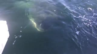 Oh my god! an encounter with the Great White Shark  - Video