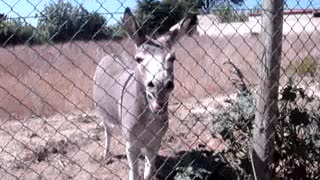 Cute Mule Saying Goodbye - Video