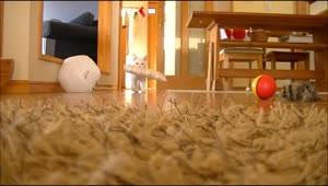 Cat loves to play fetch - Video