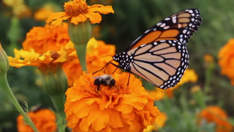 Butterfly and bumblebee feed on the same flower
