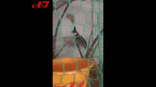 Birds reproduce in aviary - Birds sing   - Video