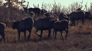 Satellite Collars To Keep Track Of Siberian Reindeer - Video